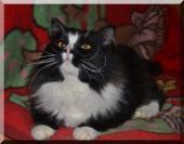 Пропал чёрно-белый кот